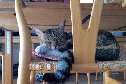 「猫温泉」を出て、椅子の上でお昼寝する、愛猫ルイ。