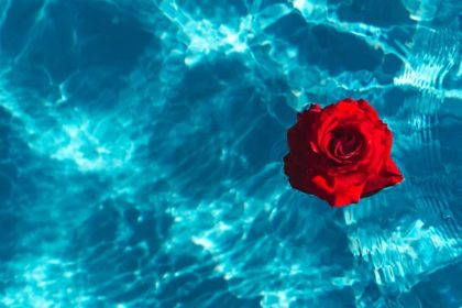 kaboompics_Fresh garden rose on the blue water of a swimming pool on a warm summer day